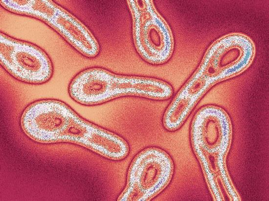 Мазок із зіву і носа на мікрофлору і чутливість до антибіотиків: розшифровка
