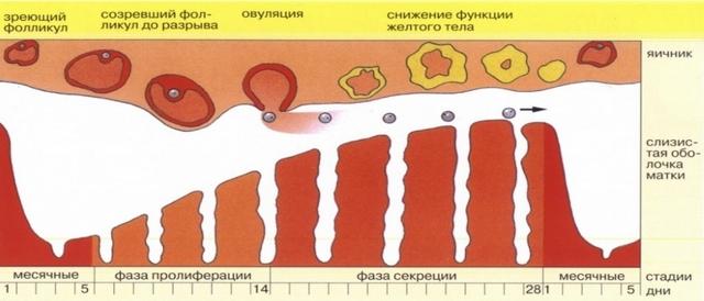 товстий ендометрій